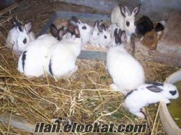 satılık damızlık tavşan arkadaşlar