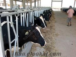 sahibinden satılık inek, holstein, simental, montofon, gebe düve