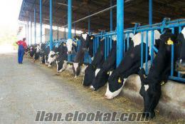 satılık inek, simental, holstein, düve,