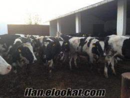 birıncı sınıf damızlık sut ineklerı