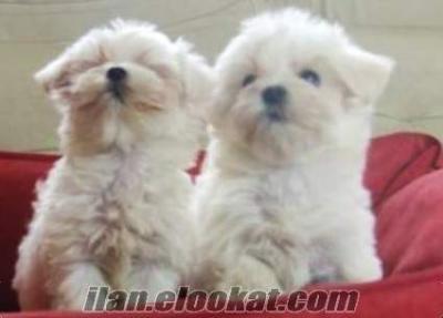 safkan maltese terrier yavrusu