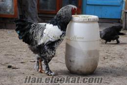 Dev ırk xxl brahma-tokat tavuğu kuluçkalık yumurtası döllü