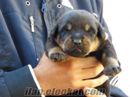 Rottweiler Yavruları Adana