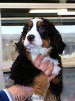 Bernese Dağ Köpeği En Uygun Fiyat Avantajı ile