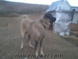 Ankara Lalahandan Satılık Kangallar