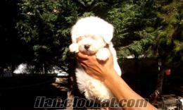 Original Beyaz Maltis Terrier Yavrularımız