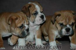 ingiliz bulldog yavruları
