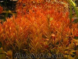 Batıkentte akvaryum bitkileri