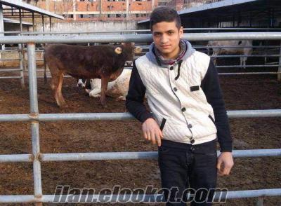 seraylar besi çifliği satılık buzalı süt inekler