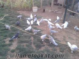 Afyonkarahisar Dinar taklacı kuşlar