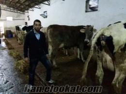 satılık, inek, aracla, takas, olur