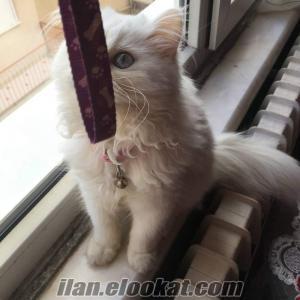 uşakta satılık chincilla cins beyaz kedi