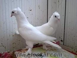 satılık taklacı güvercinler beyaz