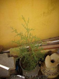 Satılık çam ağacı fidanlar