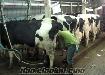akaylar besi çifliği satılık holtein buzalı süt inekleri