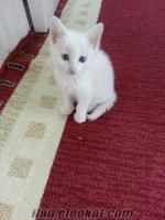 Ankara Kedisi Bebek Yüzlü (Tüm Eşyalarıyla)