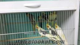 çift sultan papağanı
