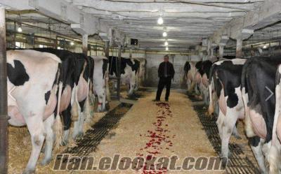 Satılık İnek Akaylar Besi Çifliği Buzalı Holstein Süt İnekleri