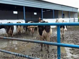 satılık, inek, düve, dana