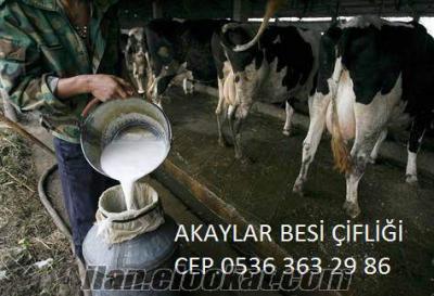 Akaylar Besi Çİfl.ğinden Sağımlık Buzalı Süt İnekleri Ve Gebe Düveler Satılık