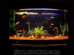 canlı doğuran ful akvaryum balıklarıyla çok ucuza