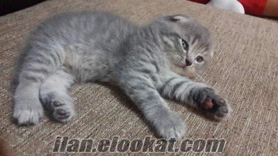 Scottish Foold Kedi Yavruları
