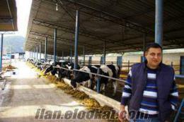 sahibinden satılık 165 adet süt inegi 155 adet gebe düve 75 adet dana