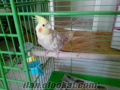 3 yaşında dişi sultan papağanı