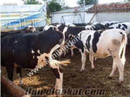 Alanyada tosunogulları hayvancılık