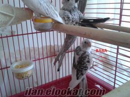 sultan papağanı çifti wf