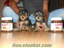 TEACUP YorkShire Terrier