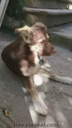 istanbuldan bedava köpek
