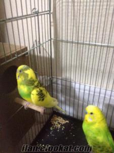 7 çift muhabbet kuşu çifthane ve yuvalıkları ile birlikte