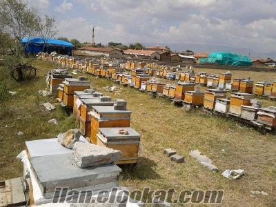 satılık arı Merzifonda