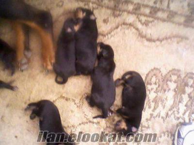 Safkan Koca Kafa Macar Rottweiler Yavruları