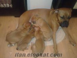 Anne altından safkan alman boxer yavruları
