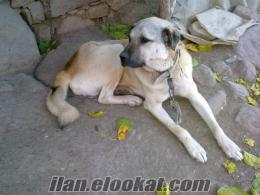 satılık hakiki kangal köpeği