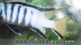 demasoni-mpanga-yunus blue point ve akvaryumlar