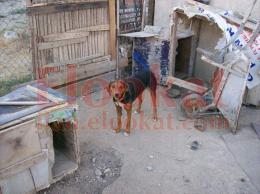 satılık domuz köpekleri
