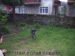 kdz ereğlide sahibinden satılık kurt zağar av köpeği