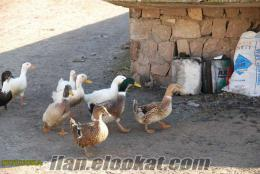 satılık pekin ve malezya ördekleri