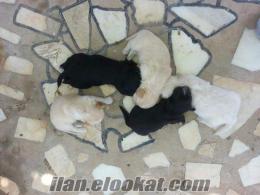 antalyadan satılık köpek