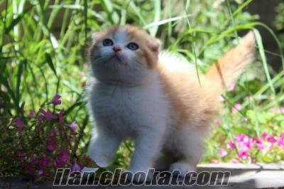 SATILIK SCOTTISH FOLD ORANGE COLOUR KEDİ YAVRULARI MAĞAZAMIZDA