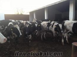 hakıkı alaca hoştein damızlık sut ineklerı ve gebe duve