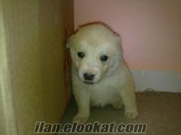 satılık 1 aylık golden yavrusu