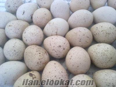 kuluçkalık kınalı keklik yumurtası