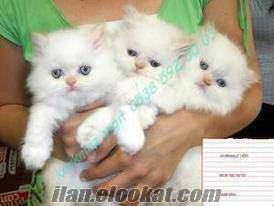 ankarada her cins kedi bulunur(uygun fiyata ve kaliteli)