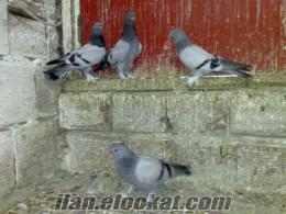 İstanbul Küçükçekmecede satilik oyun kuşları