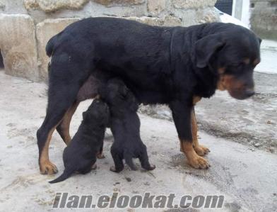anne-baba yanından macar ***rottweiler yavruları*** seçerek alınnnnnn