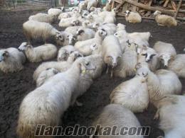 Mengende satılık koyunlar